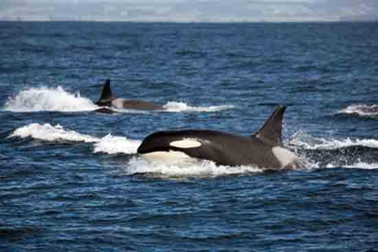 Orca Whales, San Juan Islands