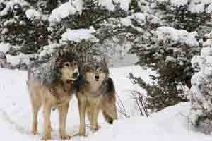 Gray Wolves in Yellowstone National Park