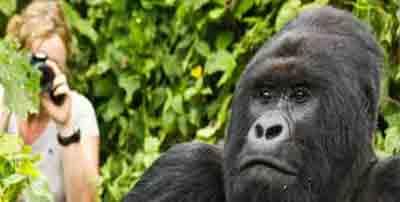 The Congo (DRC) Gorilla Trekking