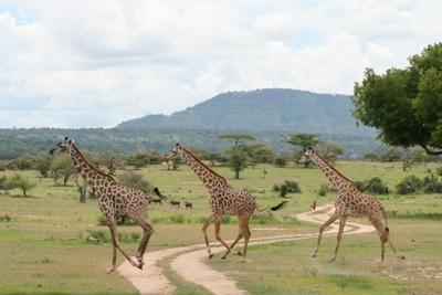 Giraffe crossing in the Selous Game Reserve